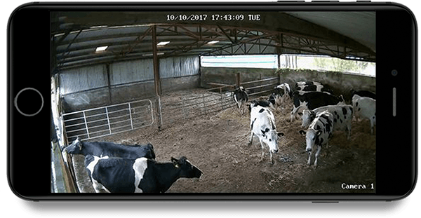 Cows on iphone